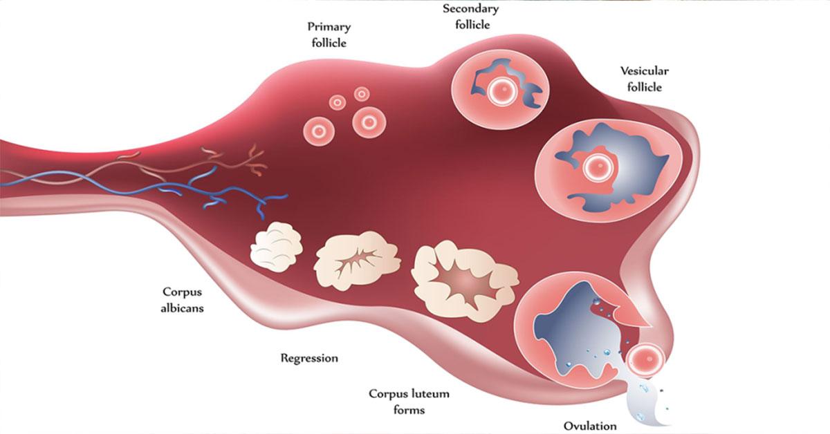simptome-ovulatie